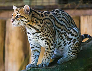 A photo of an ocelot